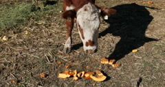Brown cow eating pumpkin as food DCI 4K Stock Footage