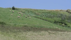 Sheep in Val d'orcia Stock Footage