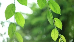 Green leaves in rainy weather Stock Footage