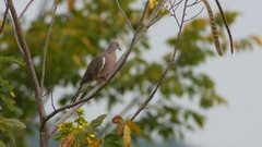 Spotted dove is relaxing on tree Stock Footage
