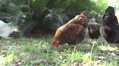 Various Free Range Chickens Clucking and Eating Stock Footage