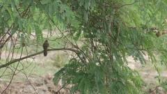 Streak-eared Bulbul jumping on the tree Stock Footage