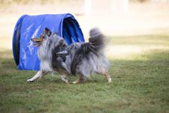 Dog, Shetland Sheepdog, agility Stock Photos