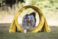 Dog Shetland Sheepdog, Sheltie, running in agility tunnel Stock Photos