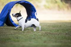Dog, Jack Russell Terrier, agility Stock Photos