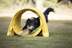 Dog, Border Collie, running through agility tunnel Stock Photos