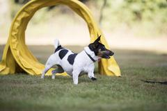 Dog, Jack Russell Terrier, running through agility tunnel Stock Photos