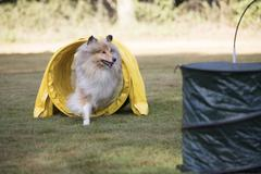 Dog, Scottish Collie, running agility tunnel, NADAC hoopers Stock Photos
