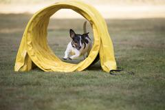 Dog, Jack Russel Terrier, running through agility tunnel Stock Photos