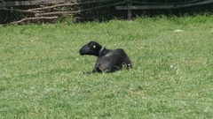 Black sheep lying in the grass and look around by Pakito. Stock Footage