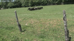 Herd of black sheep on the pasture in the fenced grass field by Pakito. Stock Footage