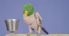 Featherless bird eats from a little cup (slow motion) Stock Footage