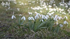 Dolly shoot of wild white snowdrops moving in a wind in green meadow. Pan left. Stock Footage