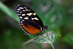 Dido longwing butterfly Stock Photos