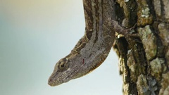 Brown Anole (Anolis sagrei) Courtship Stock Footage
