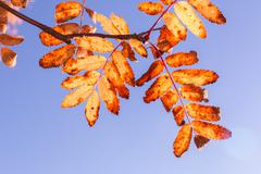 Close up shot of rowan leaves in bright autumn colours with blue sky background Stock Photos