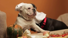 French bulldogs in chef's hats eating vegetables Stock Footage