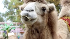 Camel Chews The And Looking at The Camera in Zoo in Ukraine Stock Footage