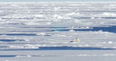 Polar bear standing near seal corps at Spitsbergen Sea Stock Footage
