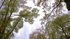Deciduous trees view from below. overcast sky. lantern lighting Stock Footage