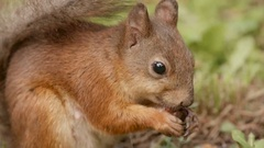 Squirrel eats the nut. Close up shot. Stock Footage