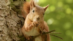 Squirrel eats on the branch. Stock Footage