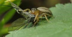 Spider with prey - Small Striped Jumping Spider Stock Footage