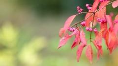 Euonymus hamiltonianus, Hamilton's Spindle Tree at Autumn Stock Footage