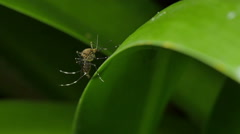 Mosquito on leaf - Mosquitoes are of the family Culicidae Stock Footage