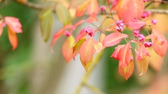 Autumnal Leaves and Flowers of Spindle Tree Waving on the Breeze Stock Footage