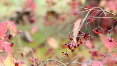 Fruiting Autumnal Tree Branch Stock Footage