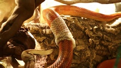 Corn snake shedding skin Stock Footage