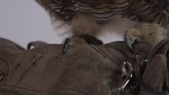 Great horned owl on zookeeper leather glove Stock Footage