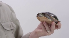 Painted turtle held by zookeper on white background Stock Footage