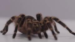 Tarantula rack focus macro on white screen Stock Footage