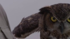 Great horned owl handled by zookeeper Stock Footage
