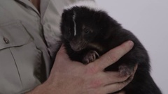 Skunk being held by zookeeper and pet Stock Footage