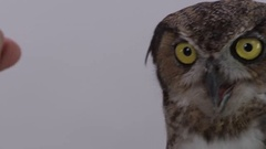 Great horned owl being held by zookeeper close up Stock Footage