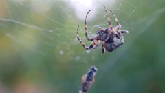 Spider hunting his victim against green background Stock Footage