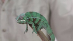 Chameleon and handler looking at camera Stock Footage