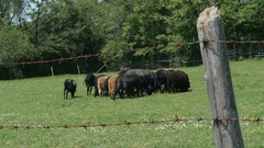 Herd of black sheep on the pasture in the fenced meadow by Pakito. Stock Footage