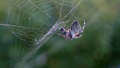 Spider hunting his victim against green background, slow motion Stock Footage
