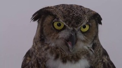 Great horned owl extreme close up of face on white screen Stock Footage