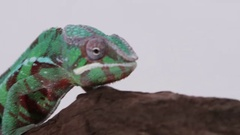 Chameleon looking around on white screen Stock Footage