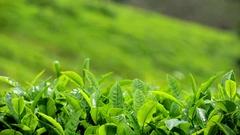 Green Fresh Tea Leaves Stock Footage