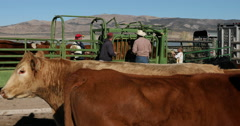 Cattle and ranchers vaccinate checking health cows DCI 4K Stock Footage