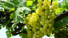 Close Up Of Green Grapes In Wineyard Stock Footage