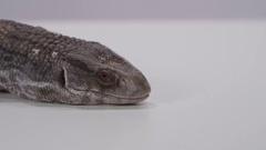 Monitor lizard medium shot face tongue extend Stock Footage