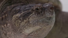 Snapping turtle extreme close up of face on white isolated Stock Footage