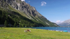 On the pasture near the Lake Sils. Stock Footage